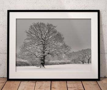 Oak trees in snow